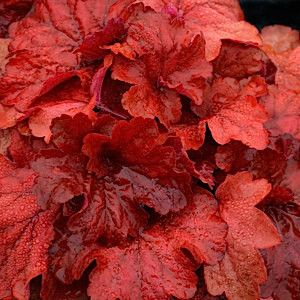 5 HEUCHERA 'Fire Alarm' with intensely red foliage - Common Name Coral Bells or Alumroot - 5 Live Perennial Plants