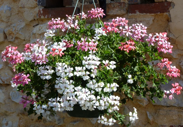 Dans cette suspension, des géraniums lierre rose et blanc scintillent à la lumière et contrastent avec la vieille pierre.