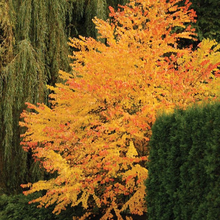 Yes, A Tree That Smells Of Cotton Candy Katsura tree- good in clay soils