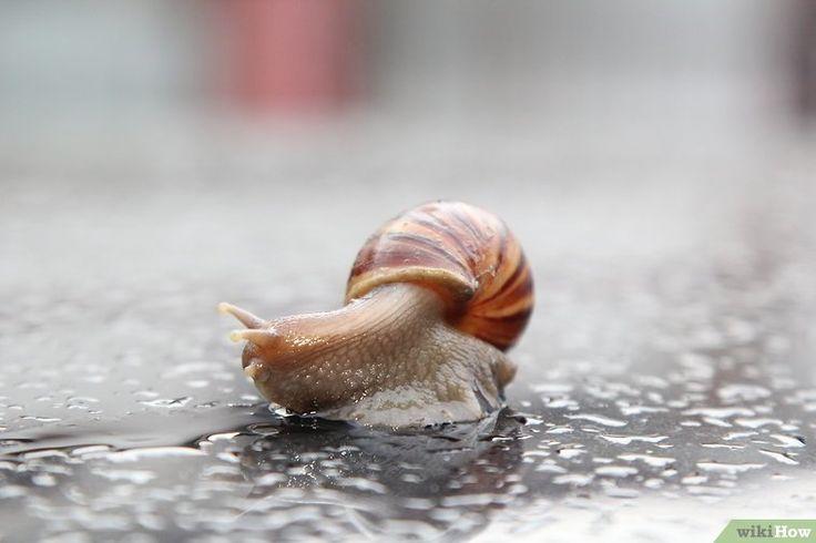 Image intitulée Get Rid of Snails Step 7Bullet1