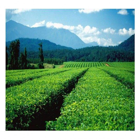 The Coffee Cube - PNG (Kalanga Plantation)