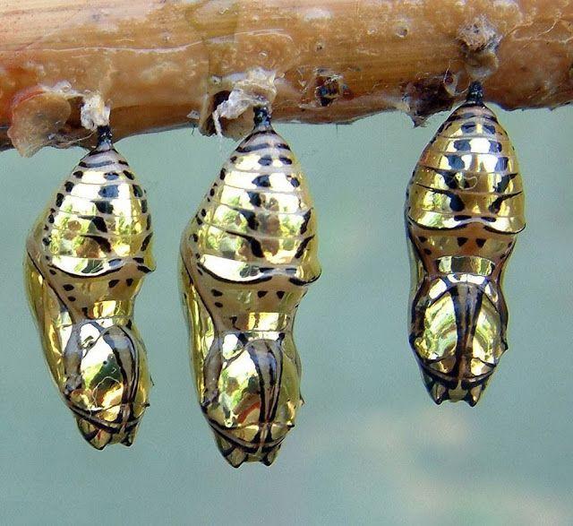 Las crisálidas de oro de la mariposa de alas atigradas En estas imágenes podemos ver el sorprendente aspecto de las crisálidas de la especi...