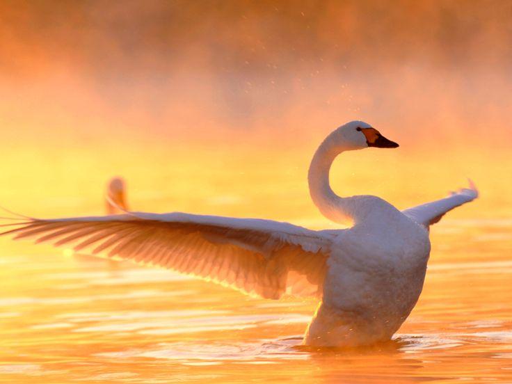 Beautiful swan wallpapers beautiful swan wallpaper - Swan wallpapers for desktop ...