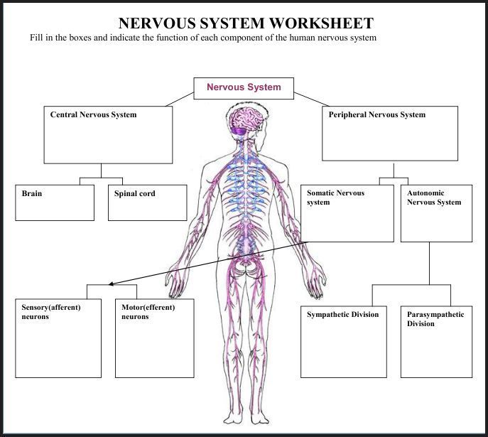 394 best images about medical illustration on PinterestNervous System Diagram Labeled And Unlabeled