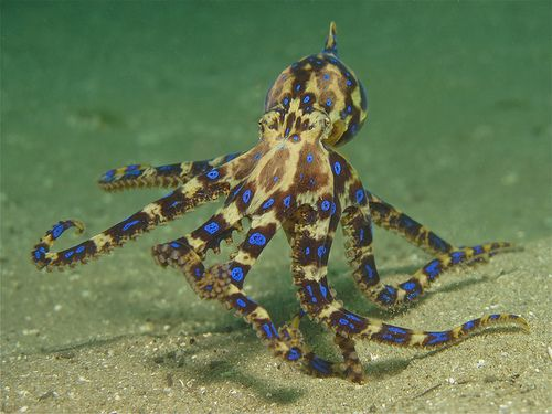 Every Thing About The Blue Ringed Octopus