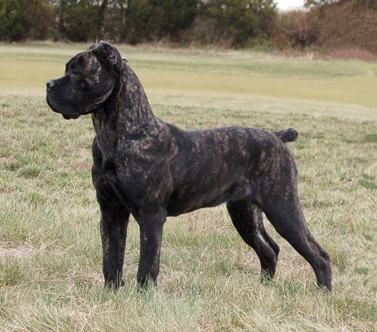 Cane Corso, I think this may just be the guard/family dog for my new home... Italian born and bred