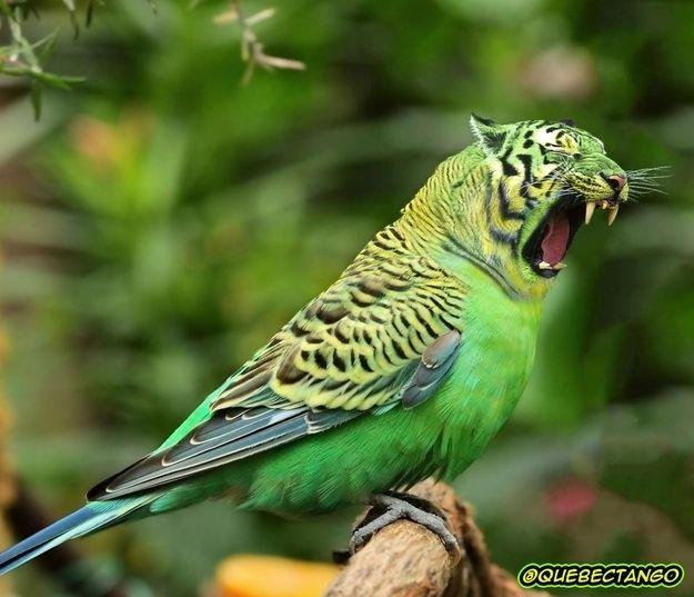 Tiger-parakeet hybrid