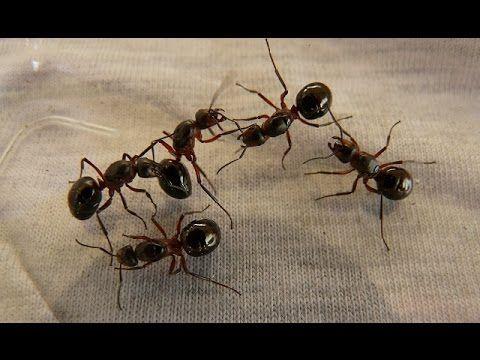 17 mejores ideas sobre picaduras de hormigas en pinterest - Remedios caseros para eliminar hormigas en casa ...