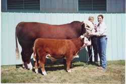 Comparing a mini Hereford Bull to a standard size Hereford bull (Straightside Ranch)