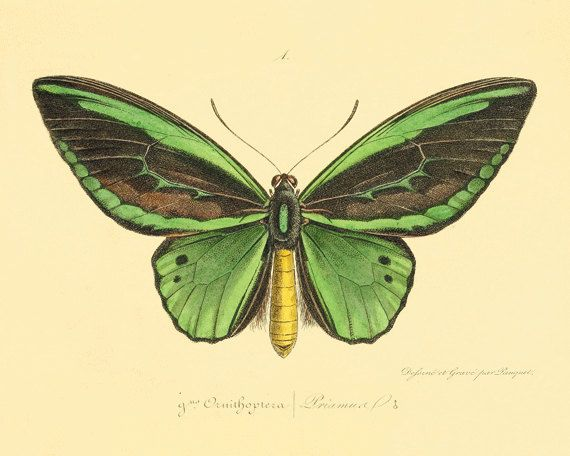 Green Vintage Butterfly Print Nature print Natural History old prints Home decor wall art Victorian art vintage prints 8x10 art print