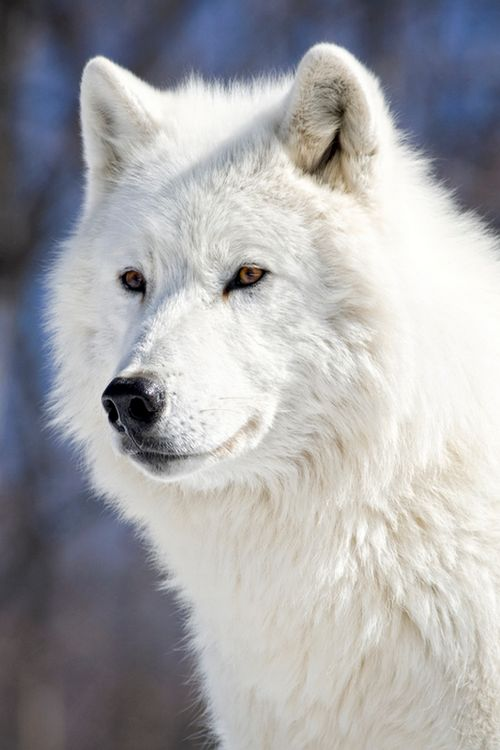 Arctic Wolf--Why Not Love of Our Nature's Photo