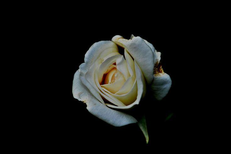 White Rose by Indah Sari Ratu on 500px
