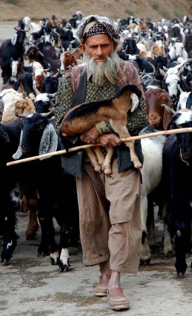 A Gujjar Nomad Herdsman walking down the road w/ his entourage in Kashmir