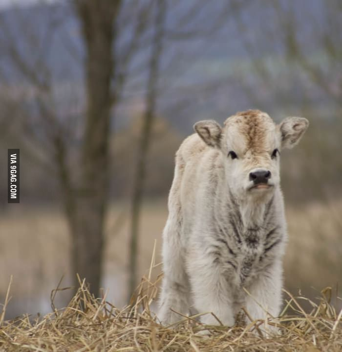 That's a floofy cow. Udderly cute.