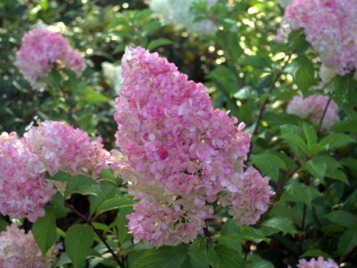 Hydrangea paniculata 'Pinky Winky'®