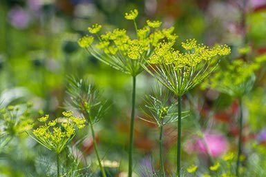 Dill (Anethum graveolens) - Gert Tabak The Netherlands/Photolibrary/Getty Images