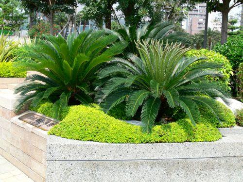 Cica - Cycas Revoluta