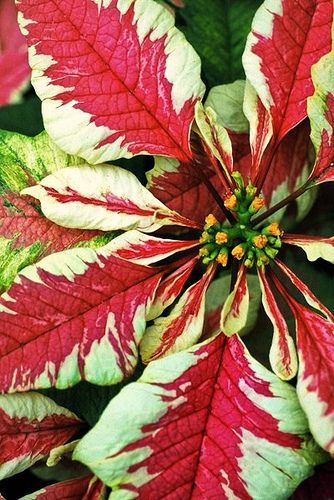 Pink Variegated Poinsettia by {Susan Wolfe}, via Flickr