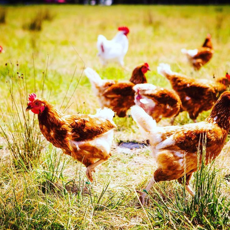 We can provide excellent workers for all facets of poultry production from the farm to the processing plant including hygienic cleans . . . . . . . . . .#FRESHPRODUCE#FOODPROCESSING#POULTRY#LANDSCAPING#ETHICAL#ALMONDS#COMMERCIALCLEANING#POTATOES#ONIONS#ORCHARDS#TOMATOES@FORESTRY#MEATPROCESSING#CONSTRUCTION#WINERY#DILIGENT#ADELAIDE#CHERRIES#SOUTHAUSTRALIA#APPLES#ADELAIDEHILLS#BAROSSAVALLEY#VINTAGE#GRAPES#MCLARENVALE#CLAREVALLEY