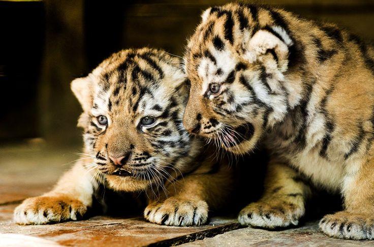 Vladim  és Katja, négyhetes szibériai tigrisek (Panthera tigris altaica) a Nyíregyházi Állatparkban
