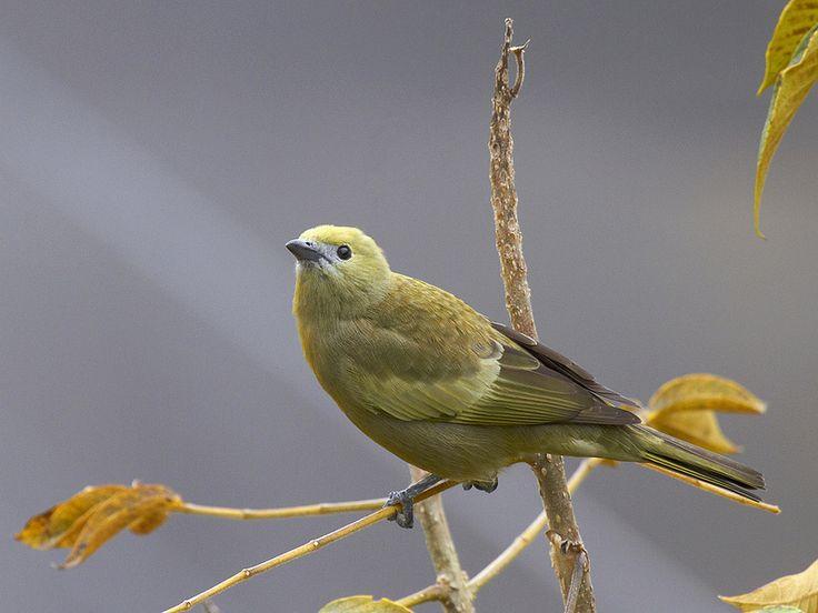 1 – Amazilia Tzacatl (Amazilia Coirrufo) un colibrí de tamaño mediano que se encuentra desde el centro-este de México hasta Centroamérica y Colo...