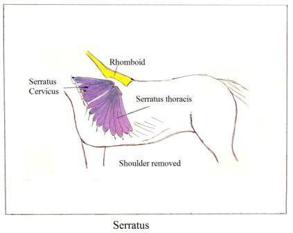 http://www.horsecoursesonline.com/college/massage/4ba_serratus_no_shoulder.JPG