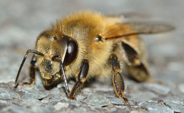 AS ABELHAS E O MEL        Abelhas são insetos voadores, conhecidos pelo seu papel na polinização . Pertencem à ordem Hymenoptera , da s...