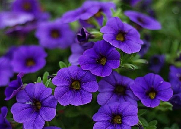 Close Up Photography Of Purple Petunia Flowers Color Palette Purple Flower Pictures Purple Petunias Flower Images