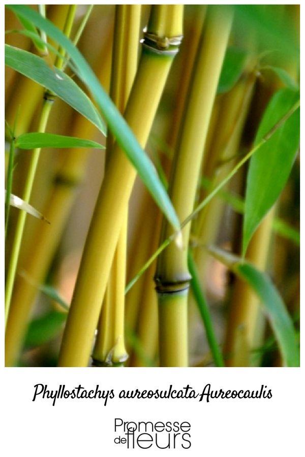 1000 id es sur le th me jaune vif sur pinterest jaune - Bambou non tracant a croissance rapide ...