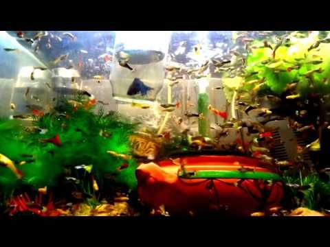 My FISH COLLECTION Edited Video #001 I created this video with the YouTube Video Editor (http://www.youtube.com/editor) My FISH COLLECTION Edited Video #001 Sterilizer Chiller Guppy fish tank wallpaper hd my tank Hybridization fish guppies aquarium full download #wallpaper #hd #ful Breeding of aquarium fish and caring for fish ponds Ornamental fish and their types Breeding ornamental fish for beginners Information on thickness of decorations Breeding of fish in ponds (for beginners) Breeding…