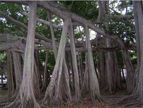 The Banyan Tree is originally from Africa and India. The tree grows to an immense size. It has an ability to spread to a great area. Its aerial roots run from branches to the ground.