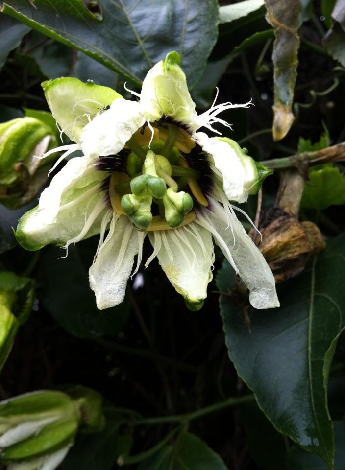 Flower of Passion Fruit (Bunga Buah Markisa)