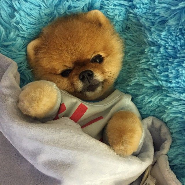 Jiff the Pomeranian Dog - What a Cute Little Teddy Bear Jiff is!
