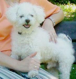 Muki 2006b - Bichon Bolognese / Boloňský psík