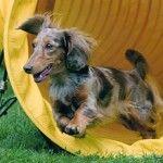 Long haired miniature dachshund breeder.