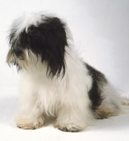 kyi leo a black and white kyi leo dog with a long silky coat draping ...