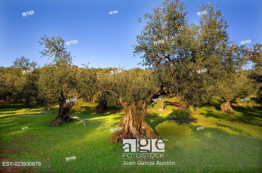 Mountain olive tree plantation, Olivenza, Spain