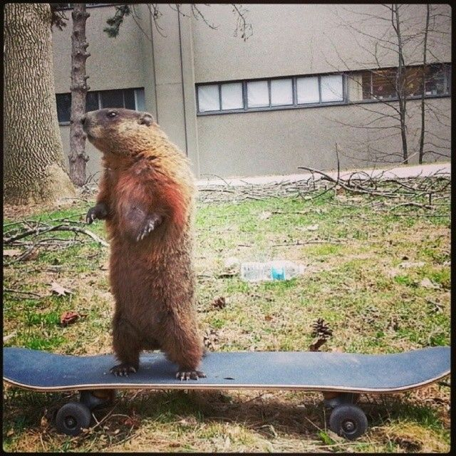 Never seen a #groundhog on a #skateboard? Well now you have. #yorku