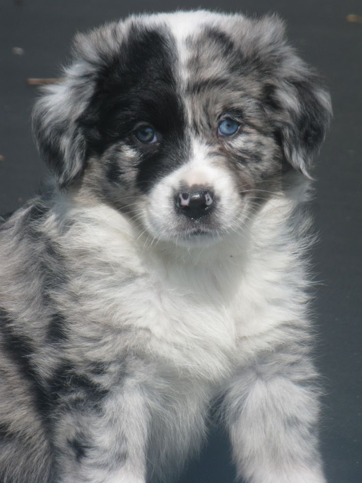 yes, I must confess....call it big heart,  going to mush, a weakness-whatever..that's what an Australian Shepherd Puppy is to Paulette -