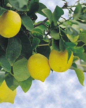 HOW TO GROW A LEMON TREE FROM SEED