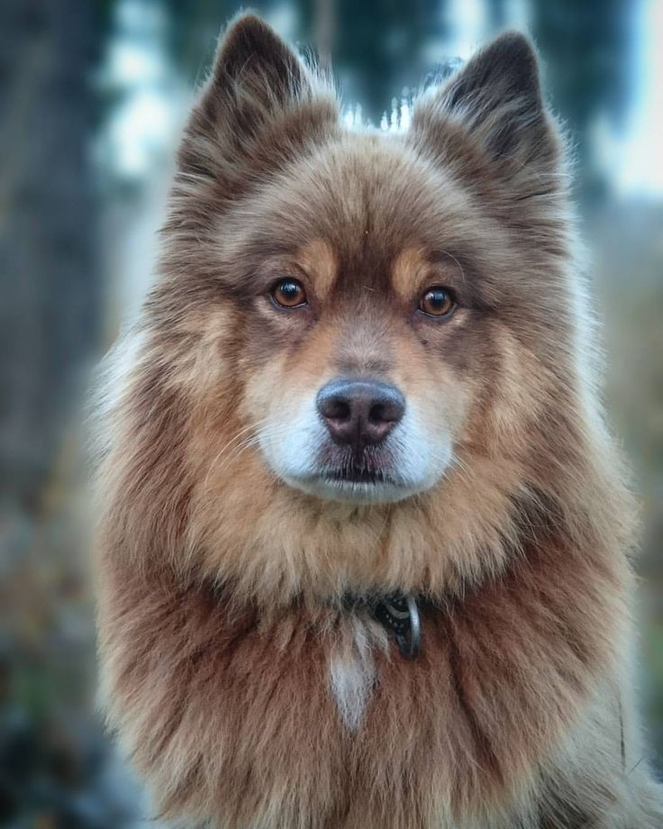 beautiful shepherd