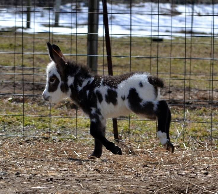 Mini-Donkey.....Can I keep it?? This would fit in perfectly with my two dwarf ponies