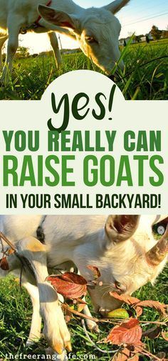 You don't have to won a farm to raise goats! See how to get started raising goats on a small lot! Raising Goats | Backyard Farming | Hobby Farm | Raising Goats for Beginners