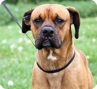 Columbus, OH Boxer/Labrador Retriever Mix. Meet Echo, a
