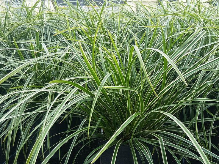 1073 best featured plants images on pinterest for Mounding grass