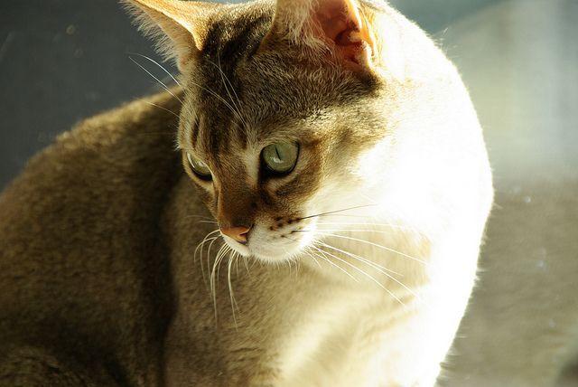 Aprende Todo Sobre La Raza De Gato Singapura Incluida Su Personalidad Cuidando Gatos Tiernos Singapura Cat Cat Breeds Small Cat Breeds
