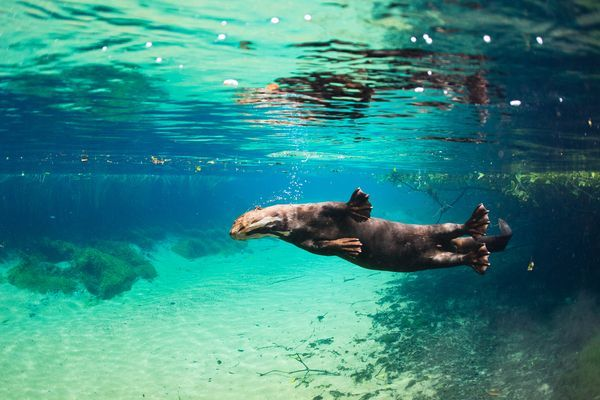 otter science images | Photo of a giant river otter swimming in Brazil.