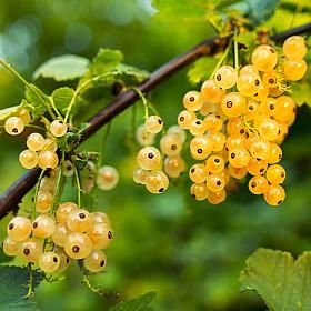 White Currant fruit plant - Ribes Werdavia produces short racemes of small, creamy white berries. These are ripe in mid-summer and are very tasty.