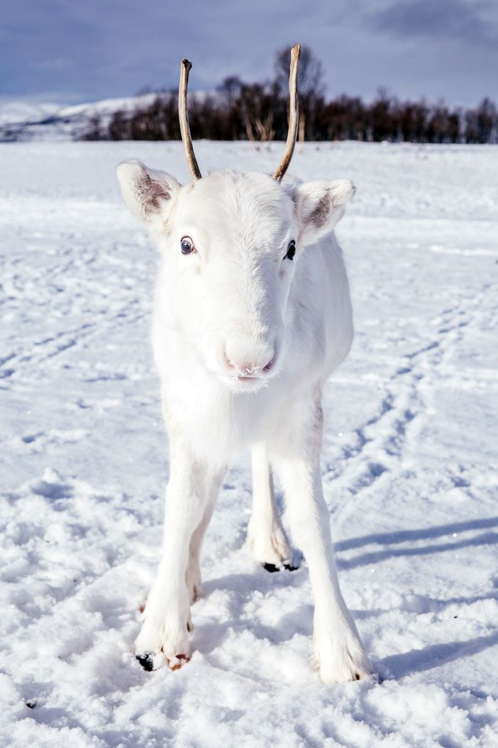 Photographer catches extremely rare white reindeer while walking in Norway – animais