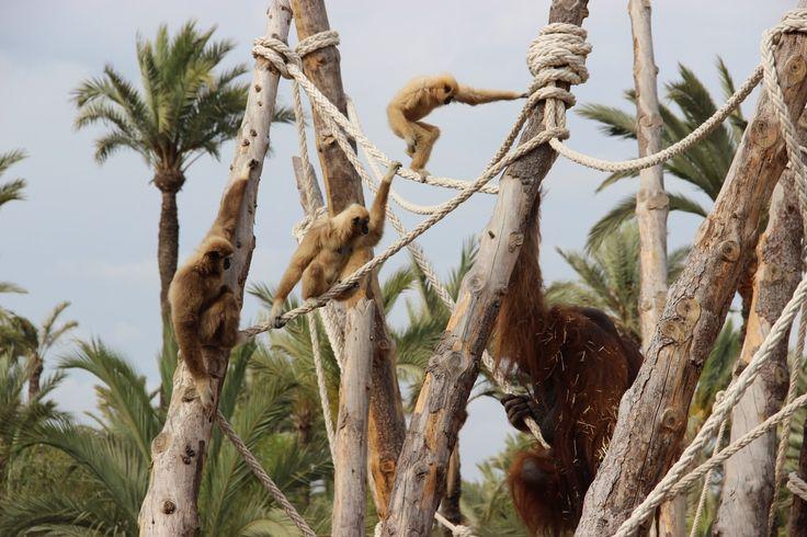 Gibones y orangután en Río Safari Elche Gibbon and orangutan at Rio Safari Elche